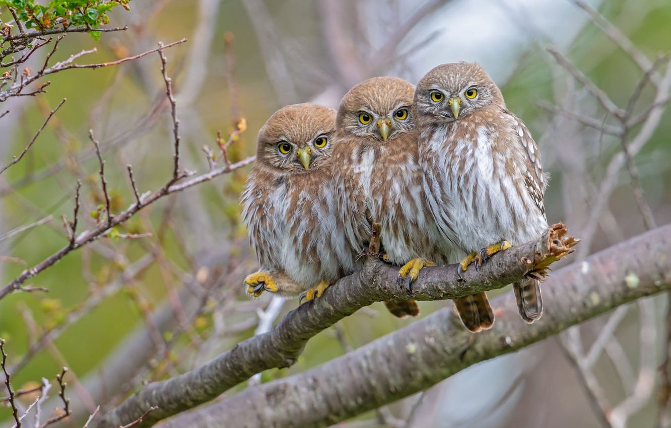 Photo wallpaper birds, branches, tree, owls, trio, Trinity, Pygmy owl