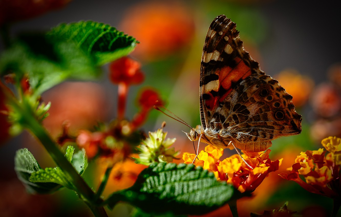 Photo wallpaper macro, flowers, butterfly, bokeh, The painted lady