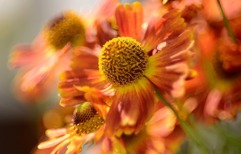 Photo wallpaper flower, nature, bokeh, macro flowers nature, summer cottage