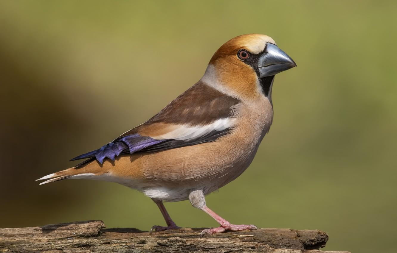 Photo wallpaper bird, bird, Grosbeak