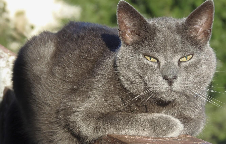 Photo wallpaper cat, grey cat, cat on the balcony, adult cat