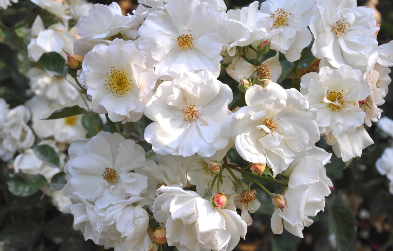 Photo wallpaper summer, roses, white roses