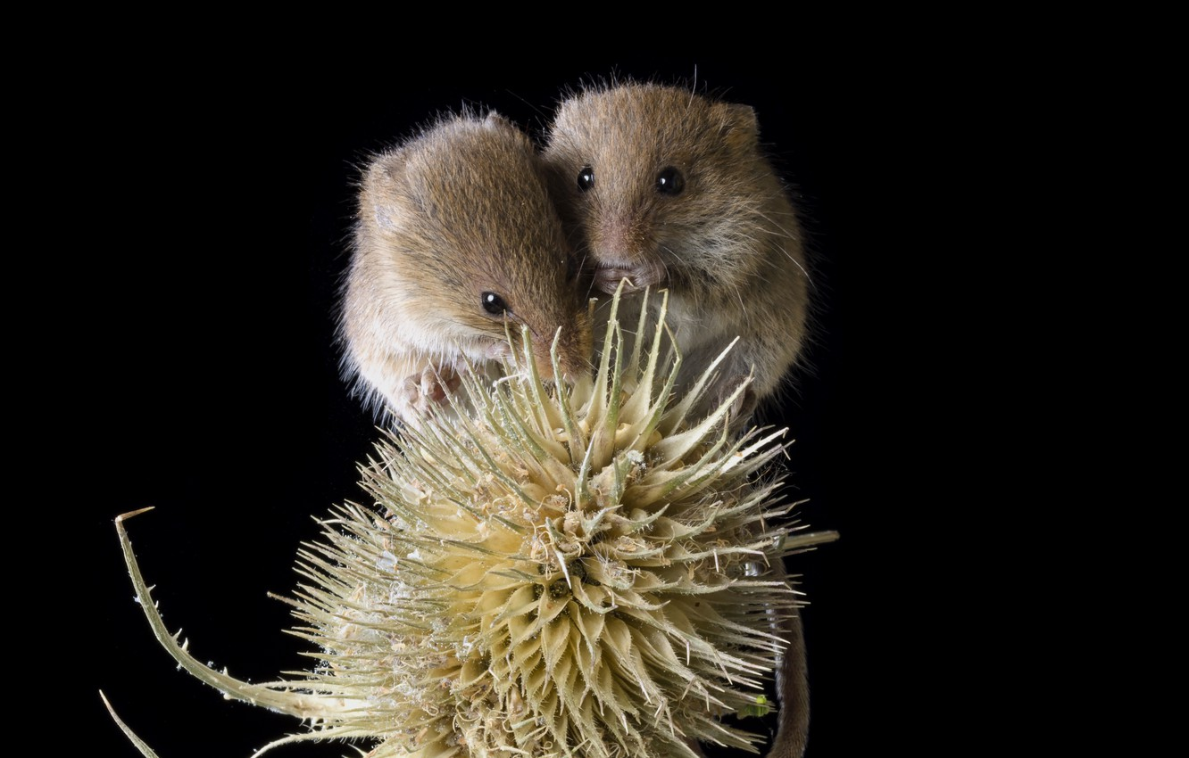 Photo wallpaper mouse, a couple, thorn, crumbs