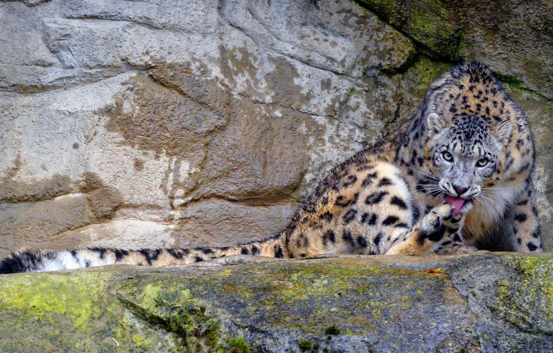 Photo wallpaper nature, pose, stones, rocks, IRBIS, snow leopard, sitting