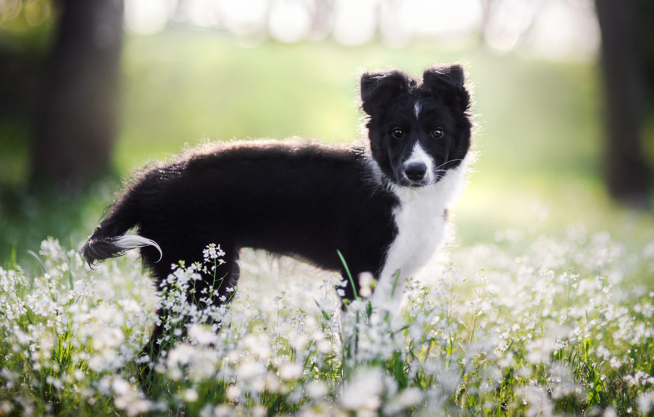 Photo wallpaper look, face, light, flowers, background, glade, black, dog, spring, baby, meadow, puppy, white, lawn, bokeh