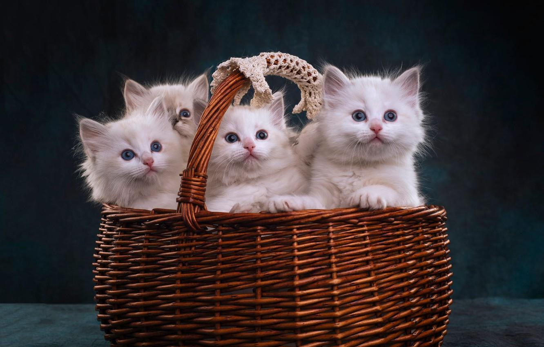 Photo wallpaper look, the dark background, kitty, basket, kittens, white, kitty, basket, cuties, a lot, Quartet, four, …