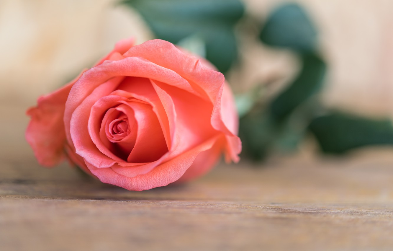 Photo wallpaper flower, roses, Bud, rose, flower, wood, pink, romantic, pink rose, bud