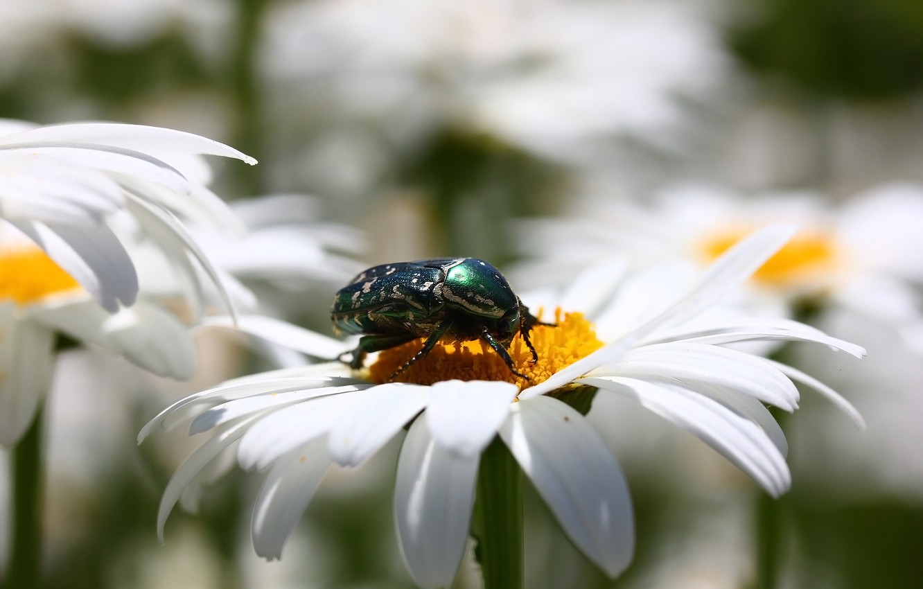 Photo wallpaper flowers, background, chamomile, beetle