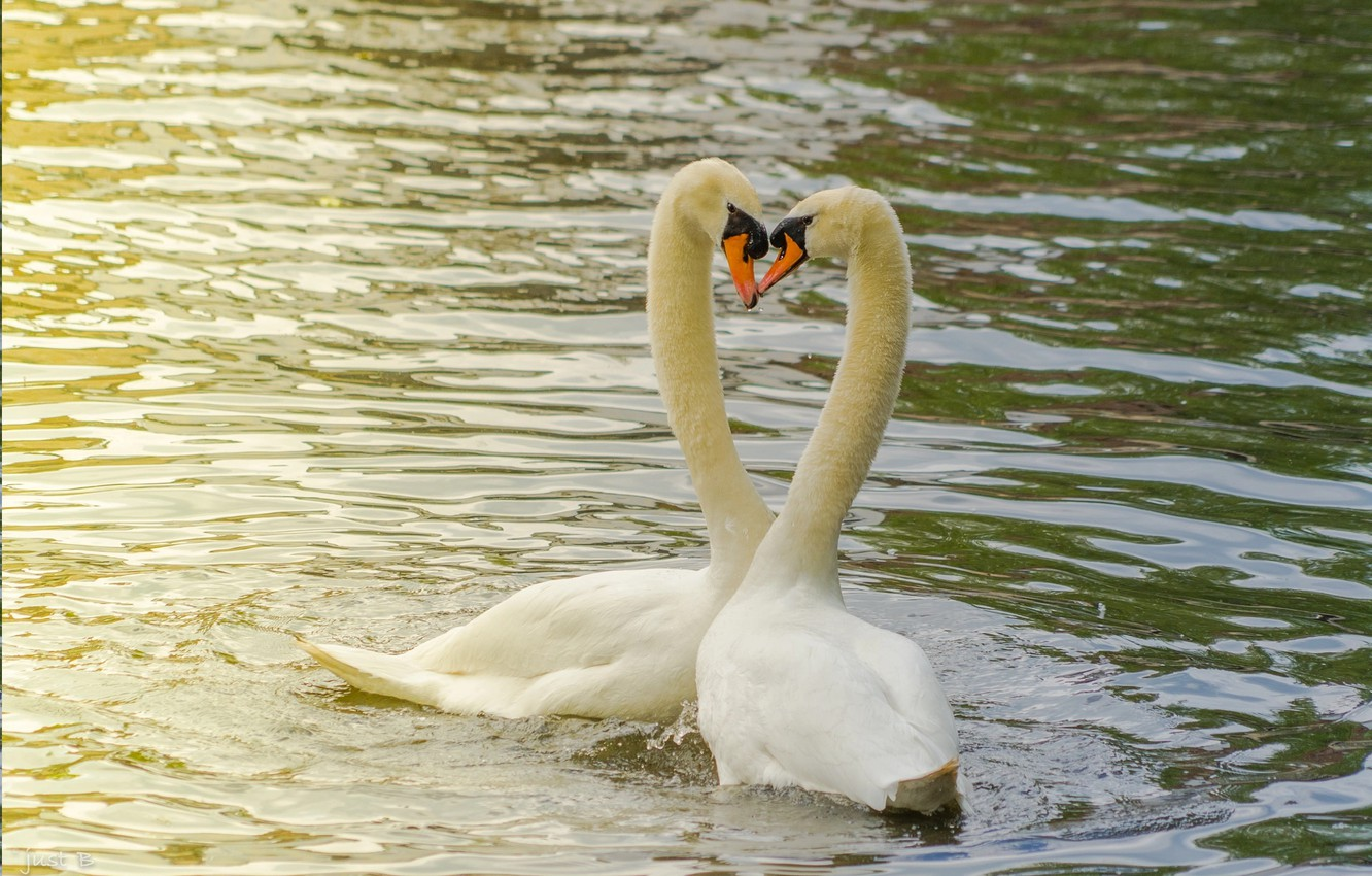 Photo wallpaper love, pond, pair, Swans