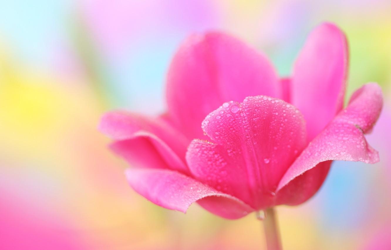Photo wallpaper flower, macro, Tulip