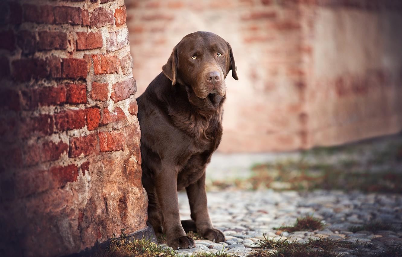 Photo wallpaper wall, dog, a sad look, Labrador Retriever