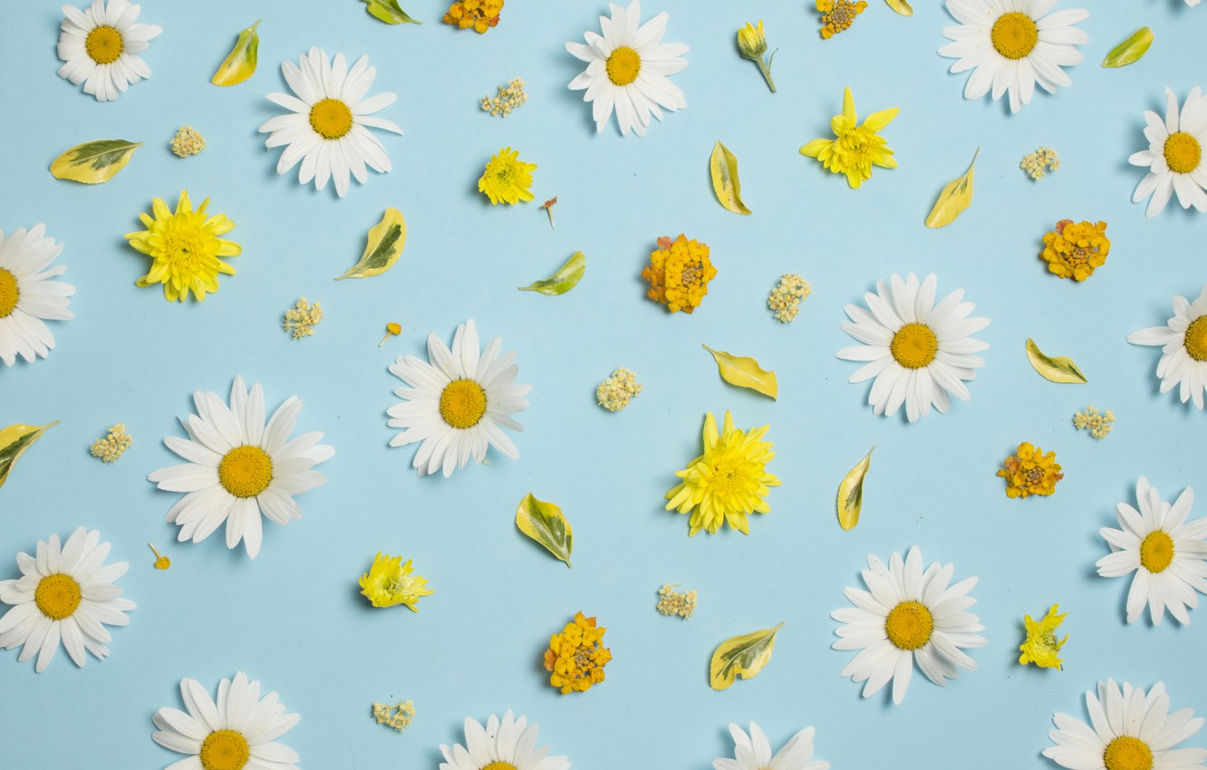 Wallpaper Flowers Chamomile White Chrysanthemum Yellow