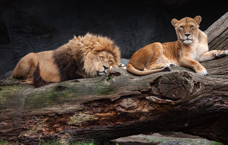 Photo wallpaper pose, the dark background, tree, stay, sleep, Leo, sleeping, wild cats, lioness, zoo, laziness, lie