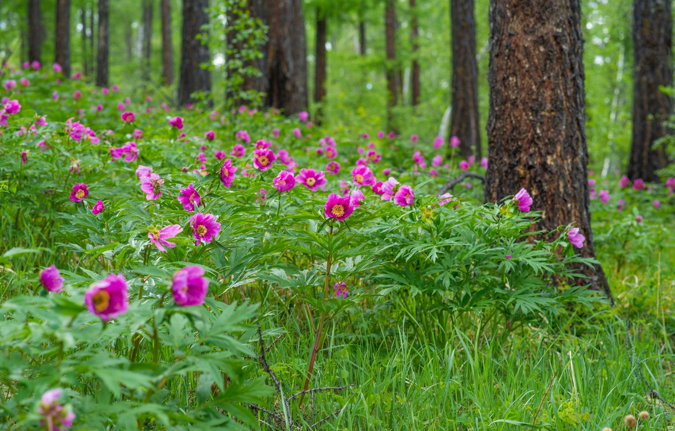 Photo wallpaper greens, forest, grass, flowers, peonies