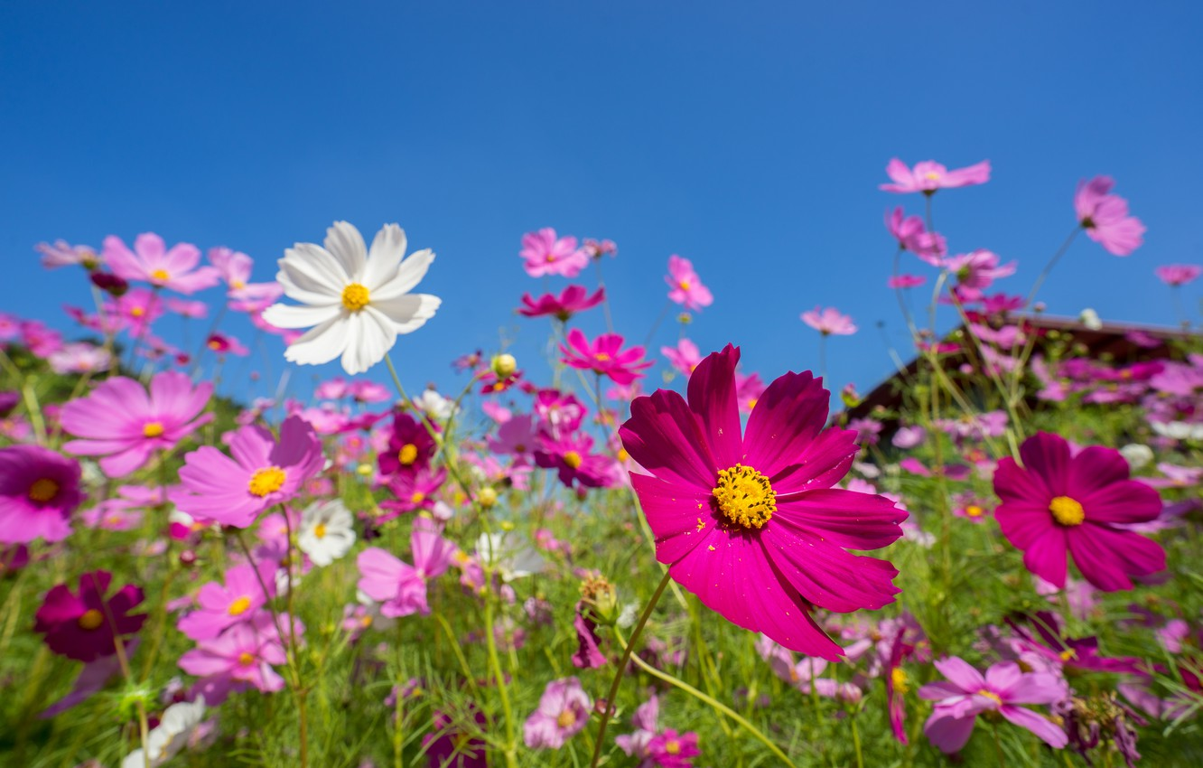 Photo wallpaper field, summer, the sky, the sun, flowers, colorful, meadow, summer, pink, field, pink, flowers, cosmos, …