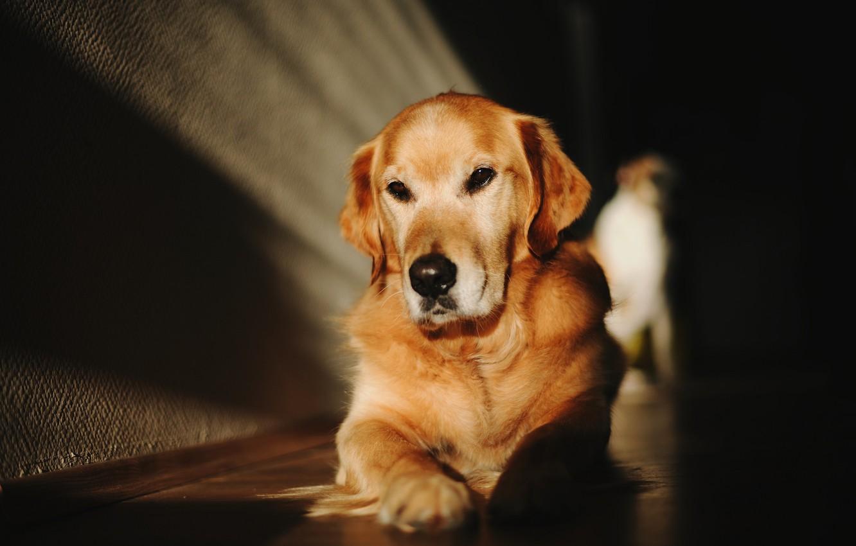 Photo wallpaper look, face, light, the dark background, wall, dog, floor, lies, shadows, Labrador, Golden, Retriever