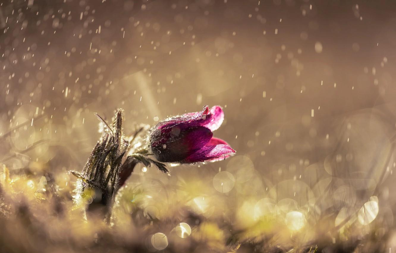 Photo wallpaper flower, drops, light, glare, rain, spring, dream grass
