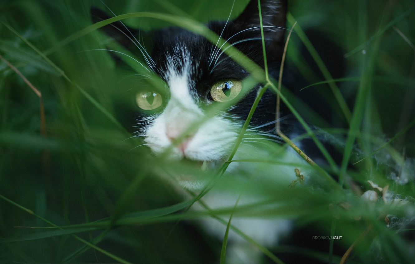 Photo wallpaper cat, grass, cat, Alexander Drobkov-Light
