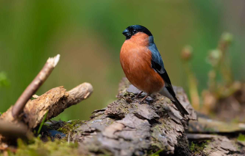 Photo wallpaper bird, bark, bullfinch
