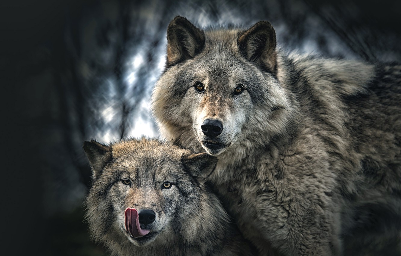 background, wolf, portrait, pair
