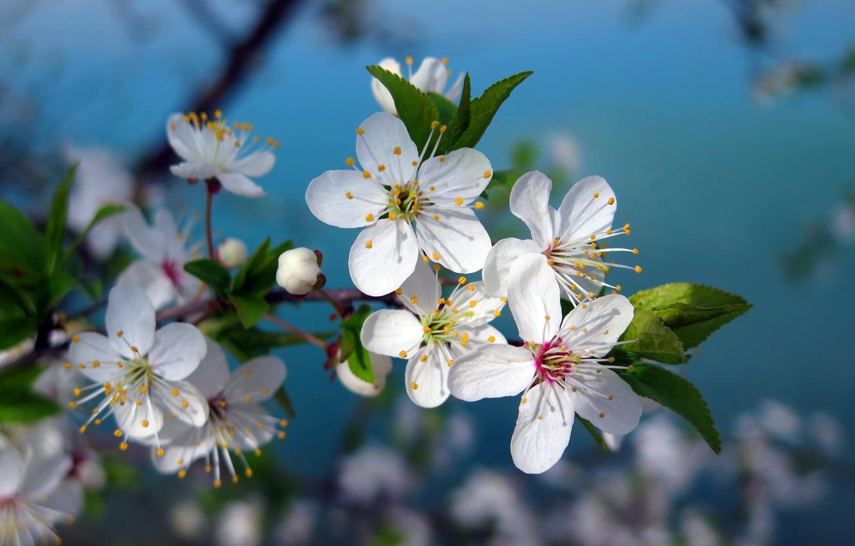 Photo wallpaper flowers, cherry, tree, branch, spring, white, flowering, flowers, macro, tree, cherry, spring, branch