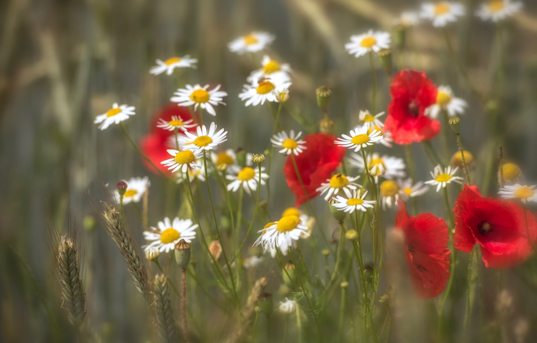Photo wallpaper field, summer, Maki, chamomile, bokeh