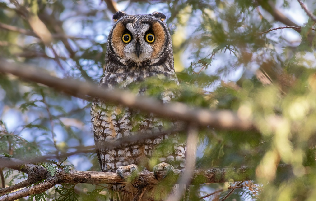 Photo wallpaper branches, tree, owl, bird, Long-eared owl