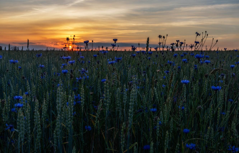 Photo wallpaper wheat, field, summer, the sky, the sun, sunset, flowers, the evening, horizon, ears, cereals, blue, …