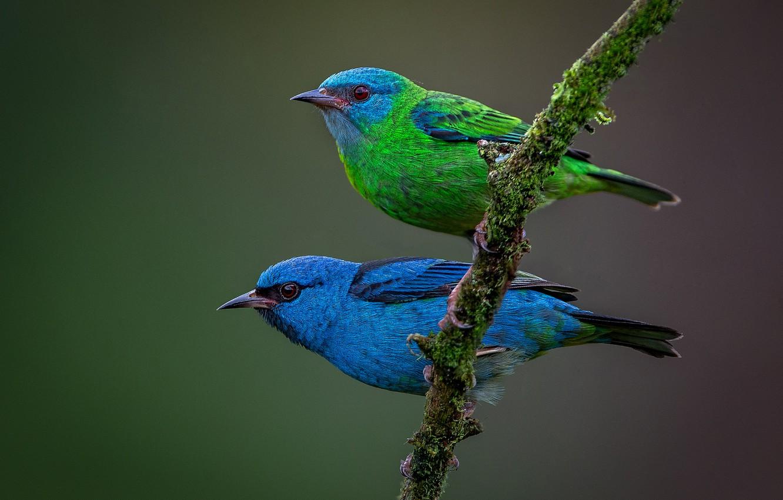 Photo wallpaper birds, background, branch, a couple, Blue dacnis