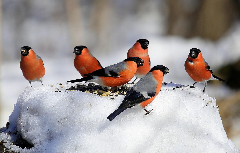 Photo wallpaper winter, snow, birds, nature, stump, pack, bullfinch, seeds, lunch, bokeh, meal, bullfinches