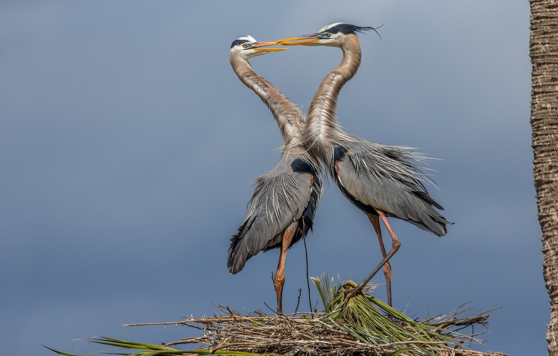 Photo wallpaper birds, pair, herons