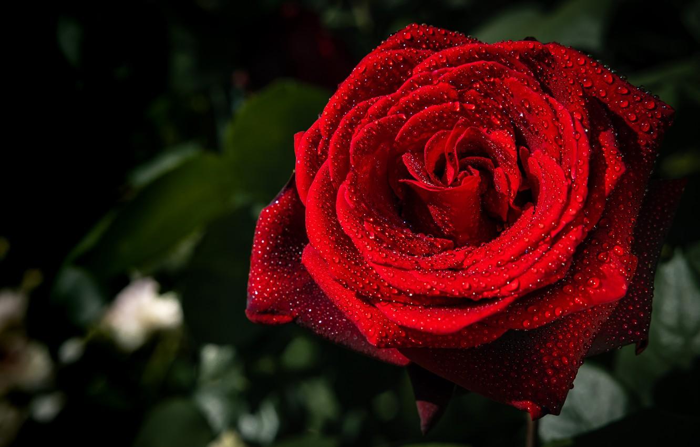 Photo wallpaper drops, macro, rose, red