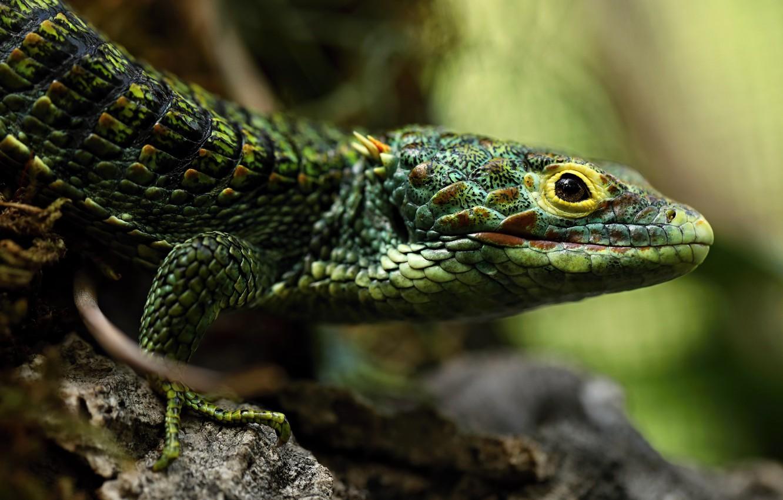 Photo wallpaper eyes, look, face, pose, background, portrait, blur, paws, lizard, green, bokeh, reptile
