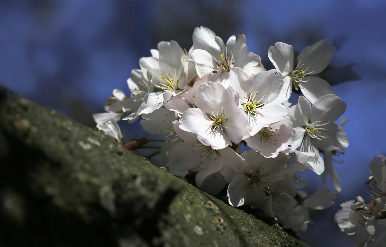 Photo wallpaper flowers, branches, cherry, spring, Sakura, white, flowering