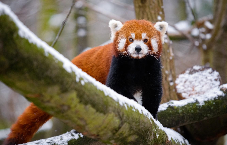 Wallpaper Winter Look Snow Nature Tree Tail Red Panda Walk Face Red Panda Images For Desktop Section Zhivotnye Download