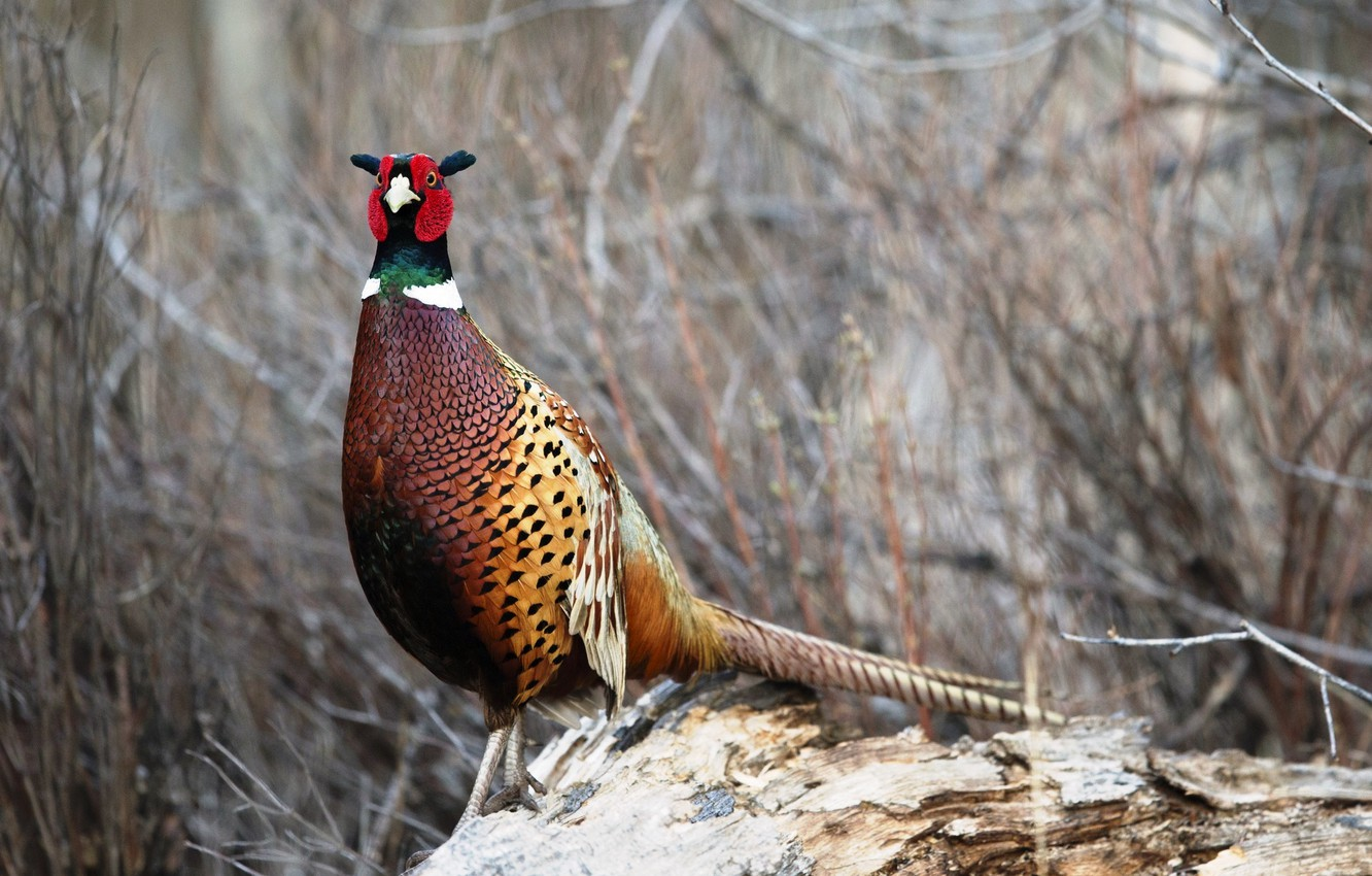 Wallpaper Nature Background Bird Pheasant Images For