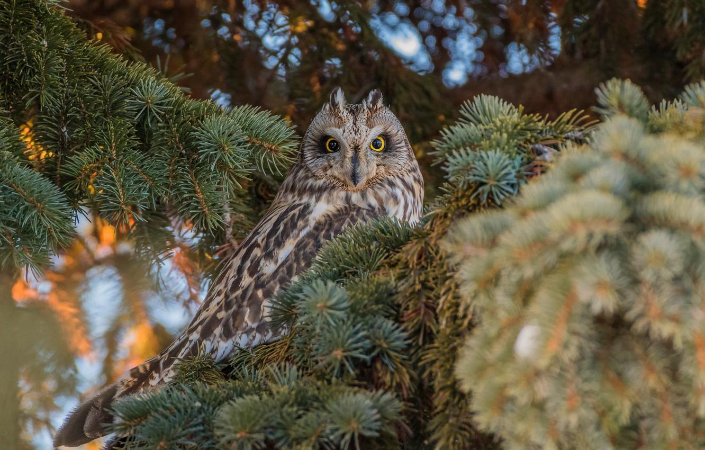Photo wallpaper forest, look, branches, owl, bird, needles, bokeh, owl