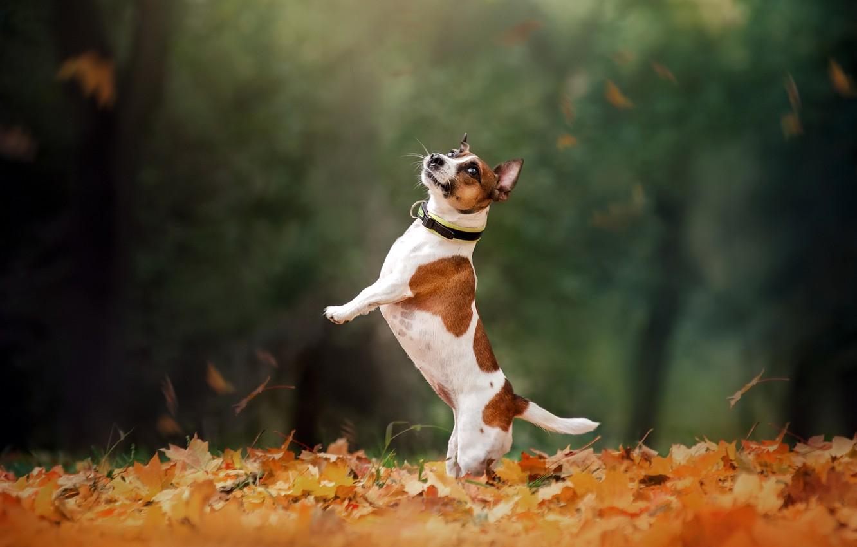 Photo wallpaper autumn, dog, walk, stand, bokeh, fallen leaves, Jack Russell Terrier, Ekaterina Kikot