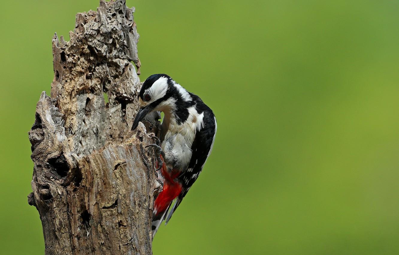 Photo wallpaper bird, woodpecker, snag