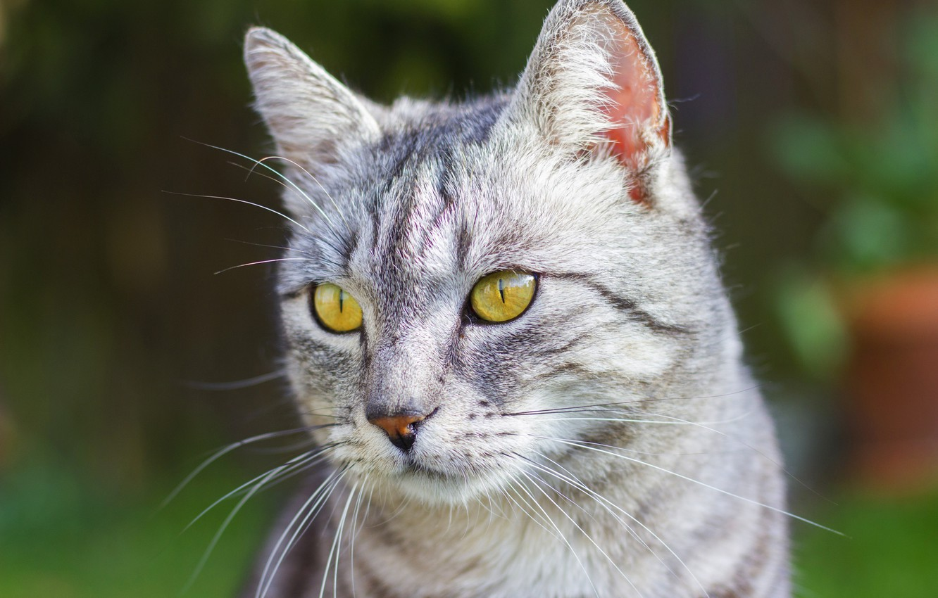 Photo wallpaper cat, cat, look, face, green, grey, background, portrait, striped, British, smoky, yellow eyes, marble