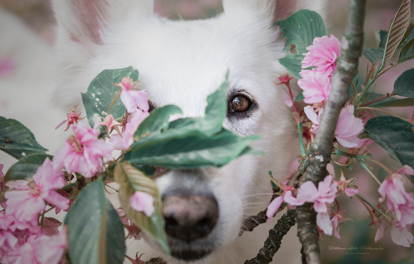 Photo wallpaper look, face, branches, cherry, dog, nose, flowering, flowers, The white Swiss shepherd dog