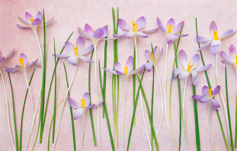 Photo wallpaper background, crocuses, saffron