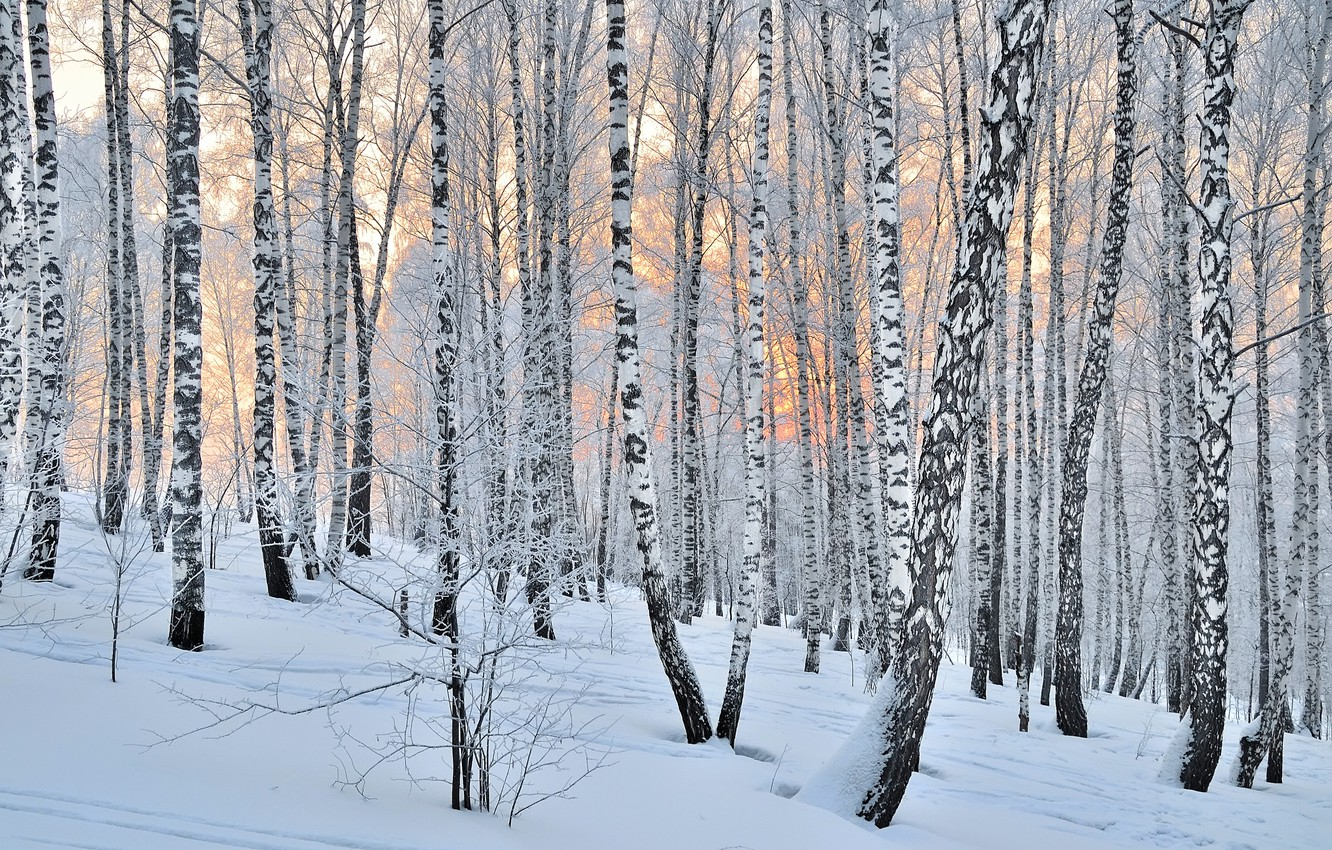 Photo wallpaper forest, trees, winter, snow