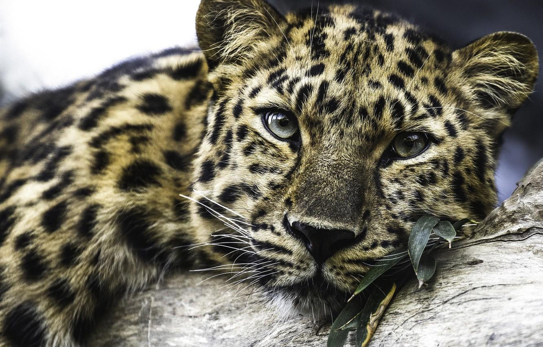 Photo wallpaper stay, predator, leopard