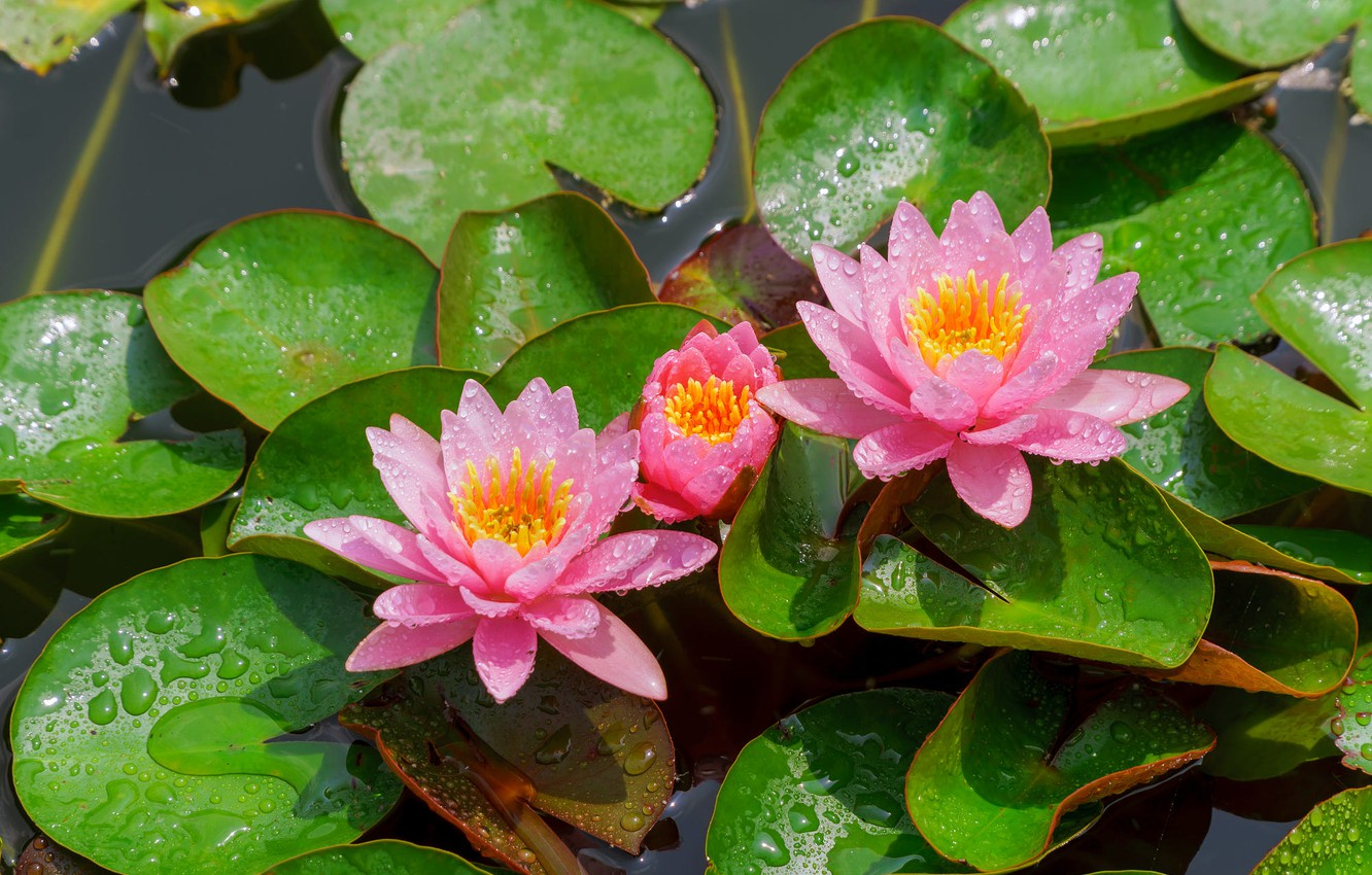 Photo wallpaper leaves, drops, light, flowers, lake, pond, pink, water lilies, pond, water lilies, nymphs