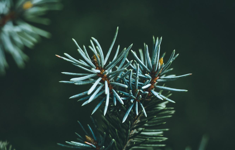 Photo wallpaper macro, needles, branch, green, needles, pine