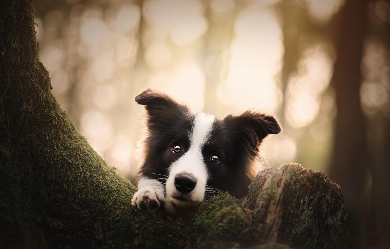 Photo wallpaper look, face, tree, dog, bokeh, The border collie