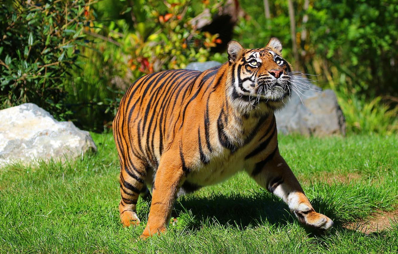 Photo wallpaper grass, look, light, tiger, pose, walk, bokeh, looking up