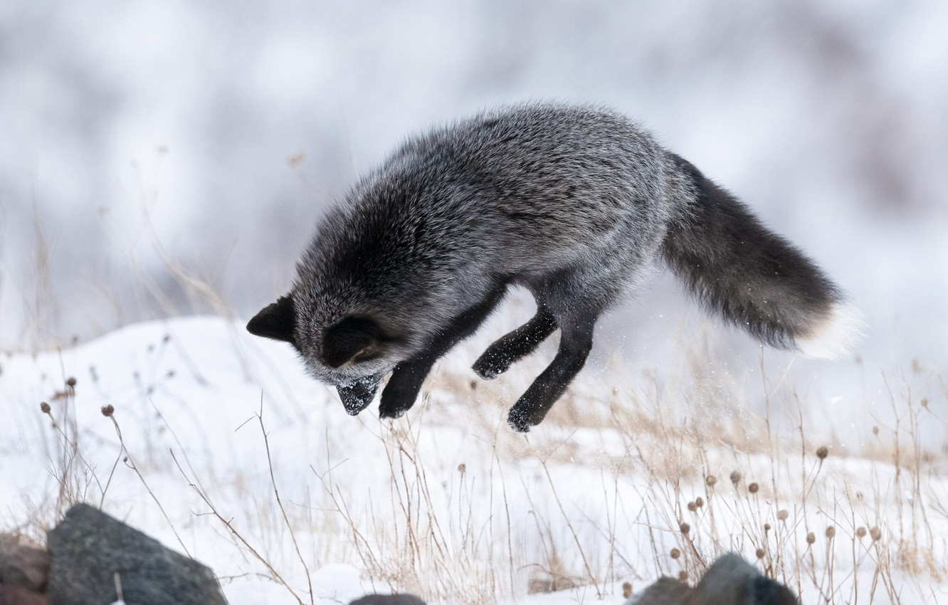 Wallpaper Winter Snow Jump Fox Silver Fox Images For