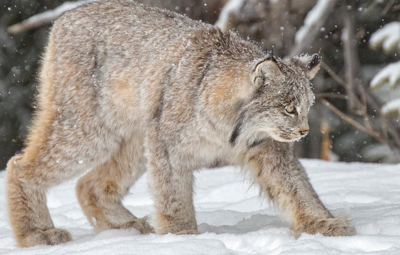 Photo wallpaper winter, snow, lynx, wild cat